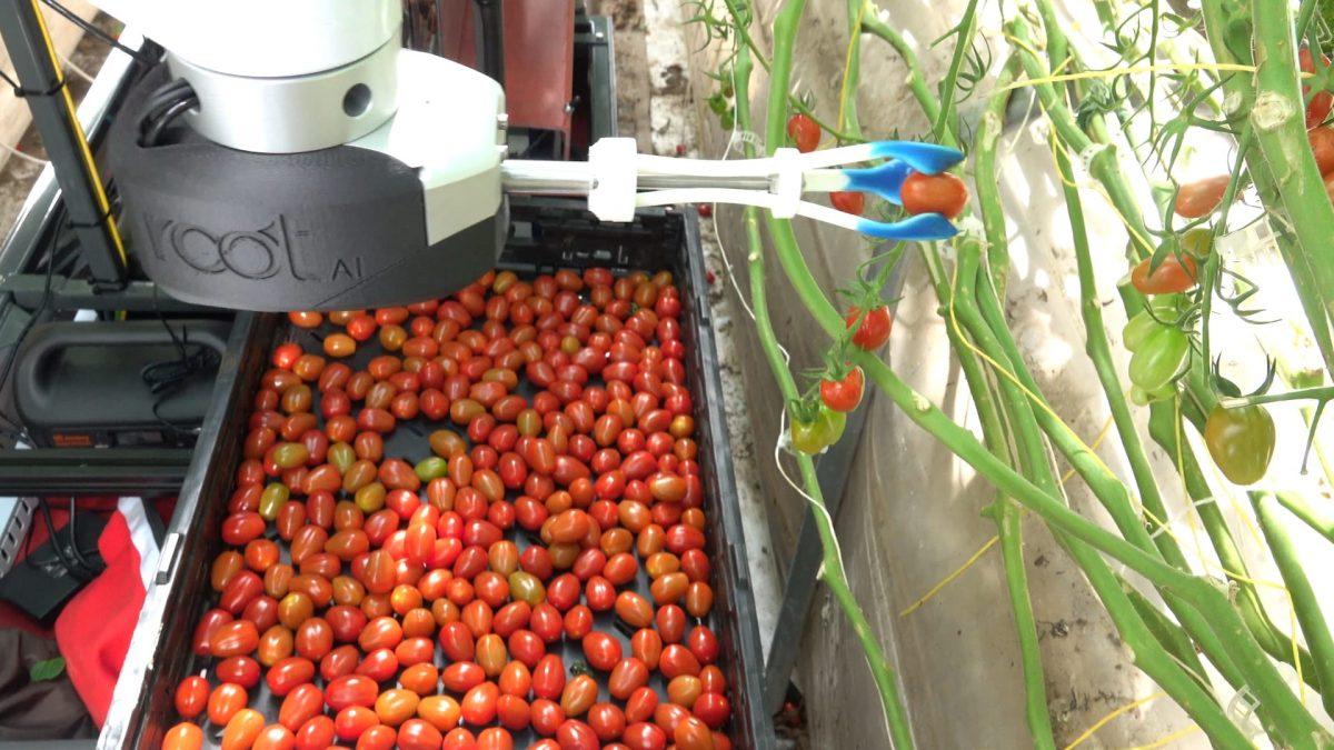 Robot Delicately Harvesting Tomatoes